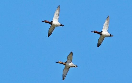 canvasback-duck-flying[1]