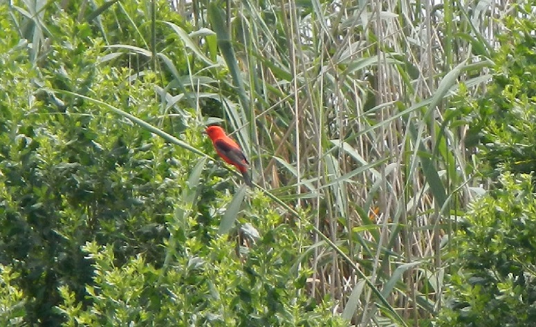 tanager 1